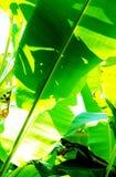 Bananowy liścia ulistnienie w świetle słonecznym obraz royalty free