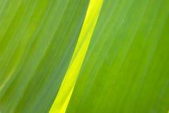 Bananowy liścia zakończenie w górę makro- Fotografia Stock