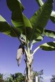 Bananowy okwitnięcie Obraz Royalty Free