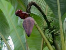 Bananowy okwitnięcie Obrazy Royalty Free