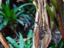 Bananowy pająk Obraz Royalty Free