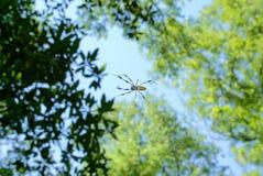 Bananowy pająk 2 Zdjęcia Stock