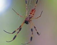 Bananowy pająk na sieci Obraz Stock