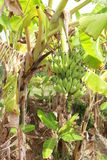 bananpalmträd Arkivbild