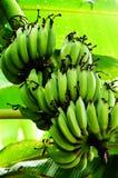 bananpalmträd Royaltyfri Foto