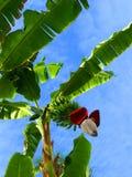 bananpalmträd royaltyfria foton