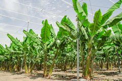 Bananpalmträd ror på kultiverad fruktfruktträdgård Arkivfoton