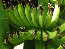 Bananproduktion Royaltyfri Bild