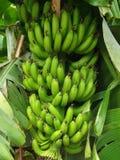 Bananproduktion Arkivfoto