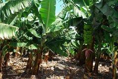 Banans, San Andrés Stock Photos
