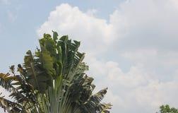 Banansidor på bakgrund för blå himmel arkivbilder