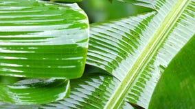 Banansidor som är våta från monsunregn Regnig säsong i tropisk skog stock video