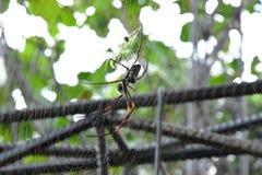 Bananspindlar eller guld- orb-vävare bor i varmmare område på det stora trädet royaltyfria foton