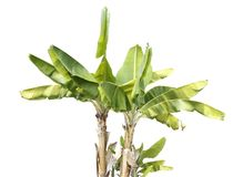 Bananträd Royaltyfria Bilder