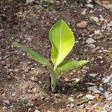 Bananträd Fotografering för Bildbyråer