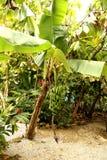 Bananträd arkivbild