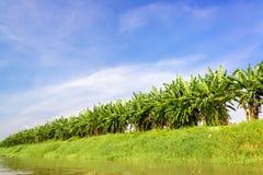 Bananträd Arkivfoto