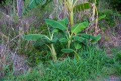 Bananträd Arkivbilder