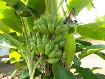 Bananträd - 6 Arkivfoto