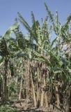 Bananträd i Kuba Royaltyfri Foto