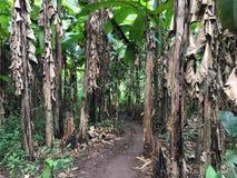 Bananträd i skogen Arkivbild