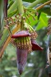 Bananträd med frukt Fotografering för Bildbyråer