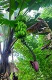 Bananträd med gröna bananer royaltyfri foto