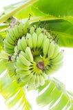 Bananträd med gröna frukter Royaltyfria Bilder
