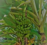 Bananträd med gruppen av bananer royaltyfria bilder