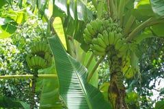 Bananträd med gruppen av bananer royaltyfri bild