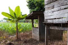 Bananträd nära stugaförfallet fotografering för bildbyråer