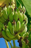 banantree Royaltyfri Bild