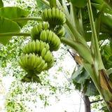 banantree Arkivfoton