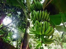 Banantree med frukt royaltyfria bilder