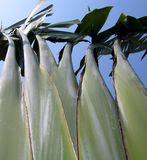banantrees arkivfoto