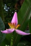 bananväxt Royaltyfri Fotografi
