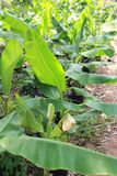 Bananväxt Royaltyfria Bilder