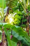 Bananväxt med gruppen och blomman royaltyfri foto