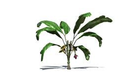 Bananväxt som isoleras på vit bakgrund royaltyfri illustrationer