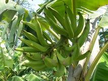 Bananväxter med horn- bananfrukter Royaltyfri Foto