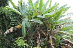 Bananväxterna från manipur Arkivbild