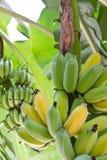 banany drzewni Zdjęcia Stock