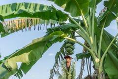 Banany i bananowy kwiat na bananowej roślinie zdjęcie stock