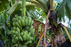 Banany świezi w Tajlandia Fotografia Stock