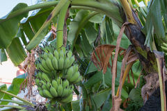 Banany świezi w Tajlandia Obraz Stock