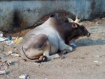 Banaras- die Stadt der Witwe, der Stiere, der Schritte und der Einsiedler Stockbild