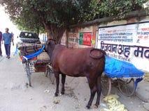 Banaras- staden av änkan, tjurar, moment och enslingar fotografering för bildbyråer
