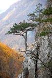 Banat black pine. Black pine unique in the world in all its splendor HERCULANE ( Romania Royalty Free Stock Photos