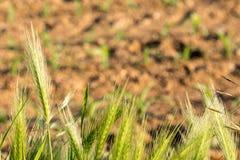 Banatek rośliny przed kukurydzanym polem Obrazy Stock
