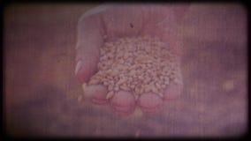 Banatka w rękach rolnik Mężczyzna sprawdza żniwa działania ręki, szorstka skóra zbiory wideo